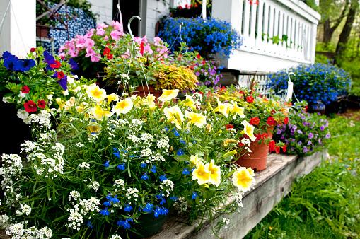 ペチュニア「夏の花」:スマホ壁紙(1)