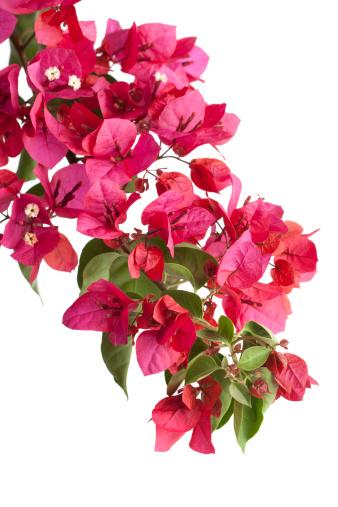 flower「ブーゲンビリアスイート(絶縁)」:スマホ壁紙(15)