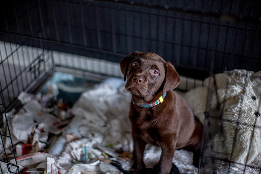 Mischief「Hungry chocolate labrador puppy eating a paper in a box kennel」:スマホ壁紙(19)