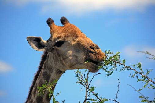 Giraffe「Giraffe eating leaves off a tree」:スマホ壁紙(1)