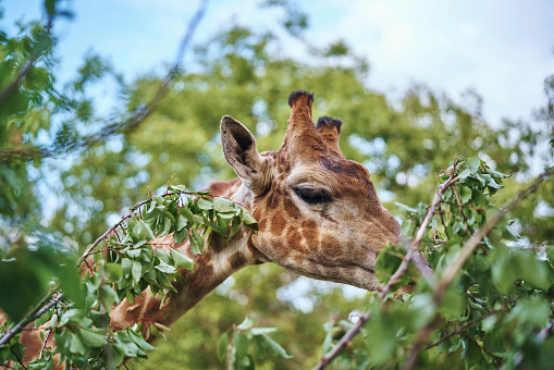 Giraffe「Giraffe eating leaves on branch」:スマホ壁紙(5)