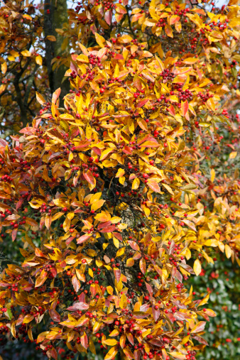Hawthorn「Crataegus x lavallei in fall color」:スマホ壁紙(18)