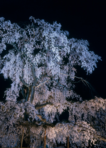 夜桜「Night View of Cherry Blossoms at Maruyama Park, Kyoto, Kyoto, Japan」:スマホ壁紙(2)