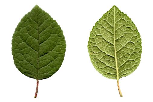 Prune「Prune leaf」:スマホ壁紙(7)