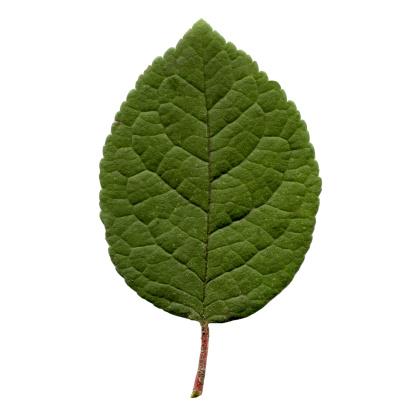 Prune「Prune leaf」:スマホ壁紙(9)