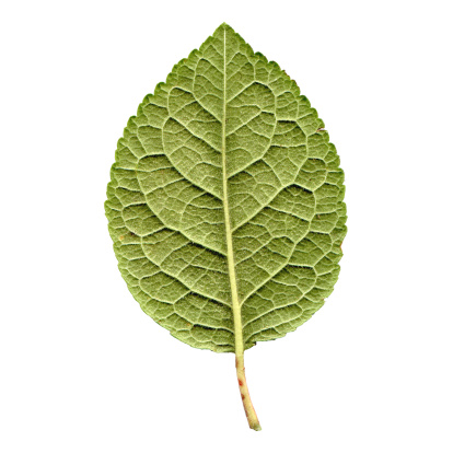 Prune「Prune leaf」:スマホ壁紙(13)