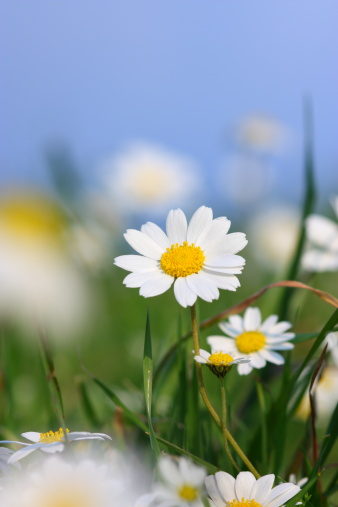 Marguerite - Daisy「Daisy field」:スマホ壁紙(15)