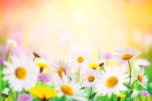 花畑「デイジーフィールド」:スマホ壁紙(18)