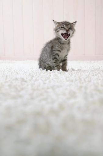 Mixed-Breed Cat「Kitten opening its mouth」:スマホ壁紙(9)