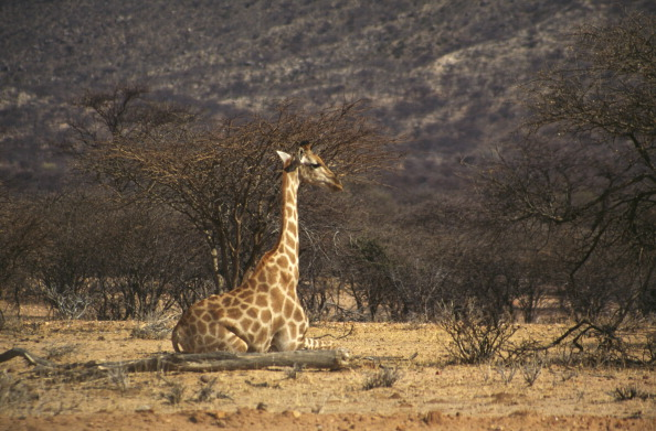 Giraffe「Seated Giraffe」:写真・画像(17)[壁紙.com]