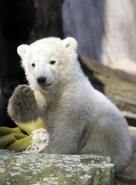 Bear Cub「Polar Cub Knut Draws Eager Public」:写真・画像(16)[壁紙.com]