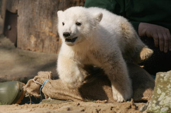 Bear Cub「Polar Cub Knut Draws Eager Public」:写真・画像(19)[壁紙.com]