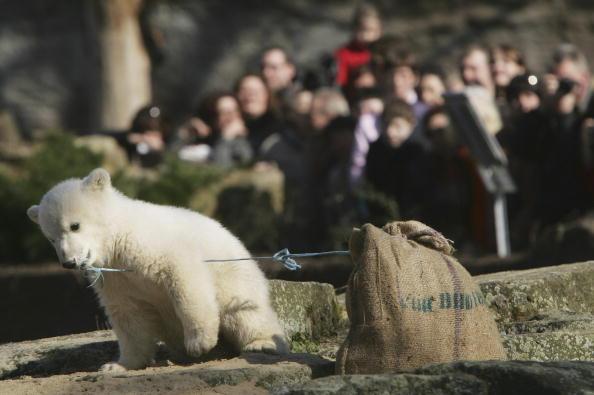 Bear Cub「Polar Cub Knut Draws Eager Public」:写真・画像(8)[壁紙.com]