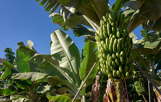 Sunbathing「Banana plantation」:スマホ壁紙(19)
