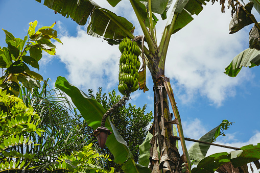 Ecosystem「Banana plantation」:スマホ壁紙(10)