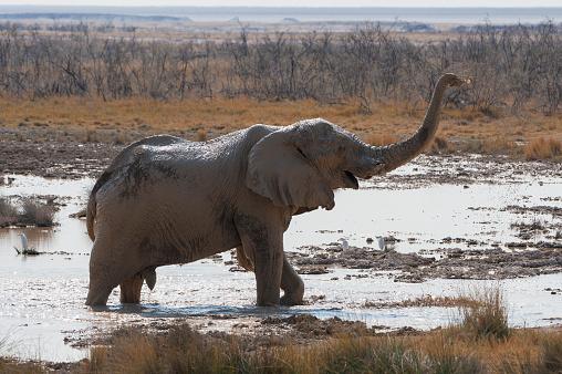 象「Elephant takes a mud-bath, Etosha National Park, Namibia」:スマホ壁紙(10)