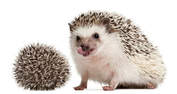 ハリネズミ「Four-toed Hedgehog - Atelerix albiventris」:スマホ壁紙(4)