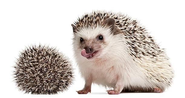 Four-toed Hedgehog - Atelerix albiventris:スマホ壁紙(壁紙.com)