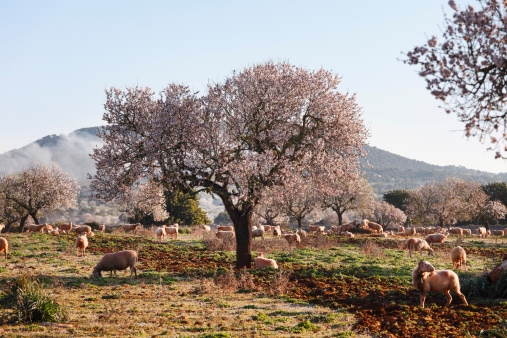 Blossom「Spain, Balearic Islands, Majorca, Santanyi, Blossoming Almond trees (Prunus dulcis) with sheep」:スマホ壁紙(12)