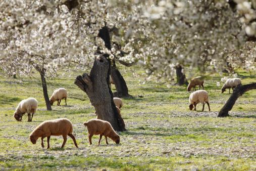 Focus On Background「Spain, Balearic Islands, Majorca, Sheep grazing at blooming almond trees」:スマホ壁紙(14)
