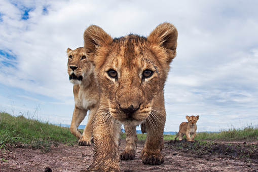 Approaching「Lioness and cubs aged about 2 months approaching」:スマホ壁紙(10)