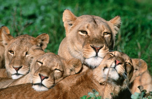 Love「Lioness (Panthera leo) and Cubs Lying in the Green Grass Sleeping」:スマホ壁紙(9)