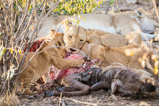 Cat「Lioness and her cubs eating kill in Maasai Mara, Kenya」:スマホ壁紙(7)