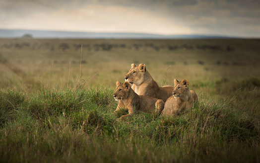 Lioness - Feline「Lioness and cubs laying in remote field」:スマホ壁紙(14)