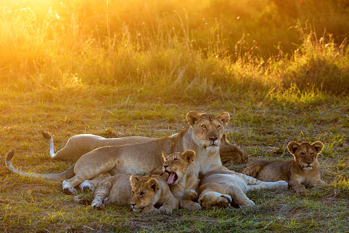 Pride「Lioness and cubs relaxing at sunset」:スマホ壁紙(19)