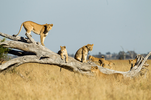 Animals In The Wild「Lioness and Cubs Standing on Dead Tree, Botswana」:スマホ壁紙(19)