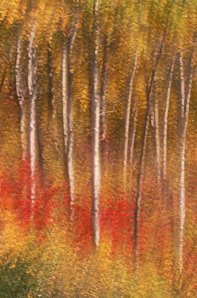 Paper Birch Trees (Betula papyrilera), multi-exposure:スマホ壁紙(壁紙.com)