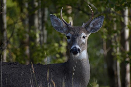 Animal Ear「White Tail Deer」:スマホ壁紙(13)