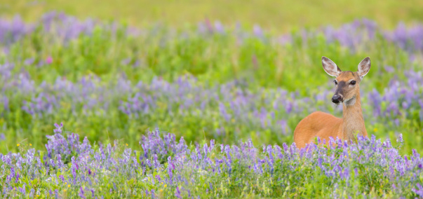 Doe「White Tail Deer in Spring Flower Meadow」:スマホ壁紙(16)