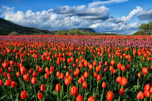 チューリップ「バレー、アボッツフォード、BC、カナダのカラフルで明るいチューリップ畑」:スマホ壁紙(1)