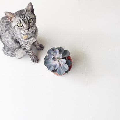 ショートヘア種の猫「Grey striped American shorthair cat sitting by a succulent plant」:スマホ壁紙(0)