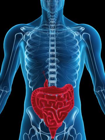 Human Abdomen「Human digestive system」:スマホ壁紙(6)