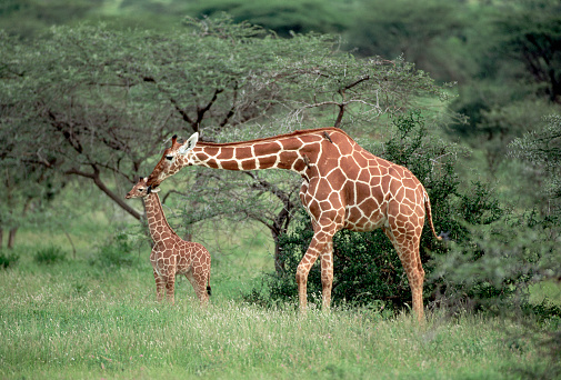 Giraffe「Mother Reticulated Giraffe With Calf」:スマホ壁紙(5)
