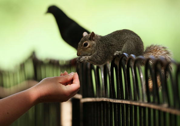 Gray Squirrel「A Flaming Start To June As Britain Basks In Warm Weather」:写真・画像(2)[壁紙.com]