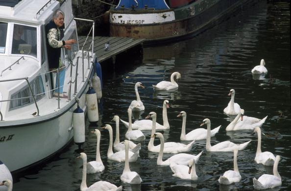 Aquatic Organism「Swan Feeding」:写真・画像(4)[壁紙.com]