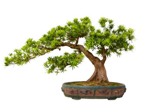 常緑樹「Podocarpus macrophyllus (Kusamaki 、盆栽 Inumaki」:スマホ壁紙(9)