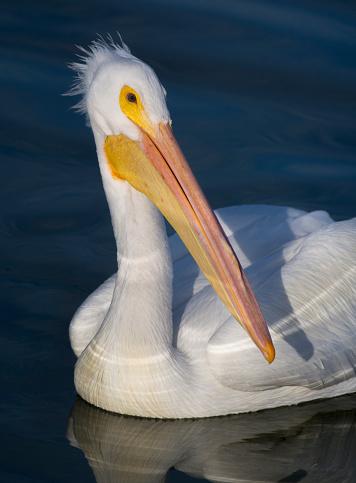 カメラ目線「White Pelican Portrait」:スマホ壁紙(18)