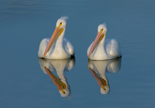 カメラ目線「White Pelicans with Reflection」:スマホ壁紙(17)
