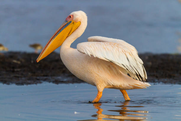 White Pelicans at Lake Nakuru National Park.:スマホ壁紙(壁紙.com)
