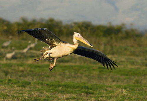 Hula Dancing「White Pelican, Pelecanus onocrotalus, landing. Hula Valley, Northern Israel. Also known as the Eastern White Pelican or Great White Pelican」:スマホ壁紙(19)