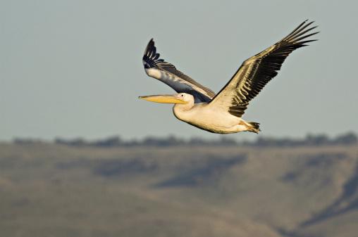 Hula Dancing「White Pelican, Pelecanus onocrotalus, in flight, Hula valley, northern Israel」:スマホ壁紙(18)