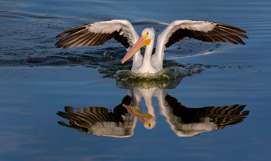 カメラ目線「White Pelican with Reflection」:スマホ壁紙(19)