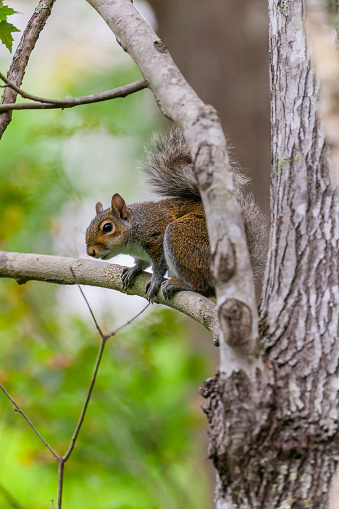 Gray Squirrel「eastern gray squirrel (Sciurus carolinensis)」:スマホ壁紙(2)