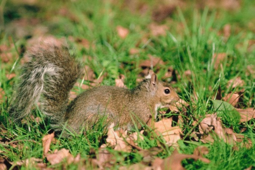 Gray Squirrel「Eastern gray squirrel」:スマホ壁紙(9)