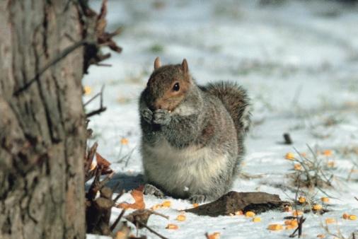 Gray Squirrel「Eastern gray squirrel」:スマホ壁紙(10)