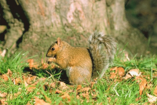Gray Squirrel「Eastern gray squirrel」:スマホ壁紙(12)